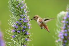 Hummingbird Stock Images