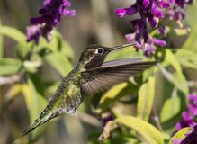Hummingbird. Feeding from a purple flower Royalty Free Stock Photography