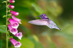 Hummingbird feeding from purple foxglove flowers Royalty Free Stock Photos