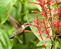 Hummingbird Feeding on a Red Buckeye Stock Image