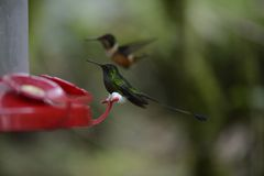 The hummingbird  feeding from the red feeder. Royalty Free Stock Photography