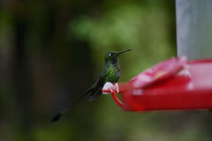 The hummingbird  feeding from the red feeder. Royalty Free Stock Photos