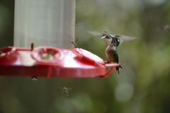 The hummingbird  feeding from the red feeder. Stock Image