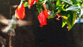 Hummingbird feeding at red flowers. In the morning, Machu Picchu, Peru stock video footage