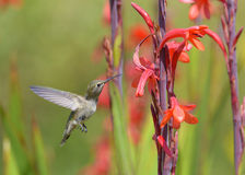 Hummingbird feeding Stock Photography