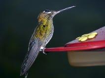 Hummingbird at a feeding station. Equador Stock Photo