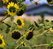 Sunflowers in a field with a hummingbird stock photo