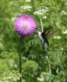 Hummingbird feeding on thistle blossom. Female ruby-throated hummingbird feeds on a thistle blossom Royalty Free Stock Images