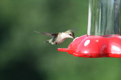 Hummingbird Feeding Time Stock Images