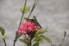 Hummingbird on St. Barts, Caribbean. Hummingbird feeding on a tropical flower on St. Barts, Caribbean royalty free stock photo