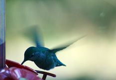 Hummingbird feeding on Walker`s Hook Road. On Salt Spring Island, British Columbia part of the southern Gulf Islands on BC west coast of Canada. This tiny Anna stock image