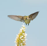 Hummingbird feeding on white Buddleia Stock Photography