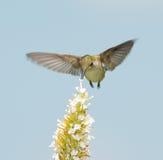 Hummingbird feeding on white Buddleia Stock Photography