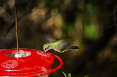 Hummingbird Feeding Wings Showing Motion Royalty Free Stock Images