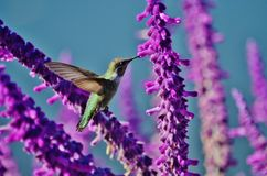 Hummingbird feeding on wisteria. A brilliant colored green hummingbird feeding on bright purple wisteria Stock Images
