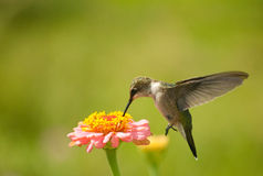 Hummingbird feeding on Zinnia flower Stock Image