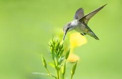 Hummingbird feeds on an Evening Primrose bud Stock Image
