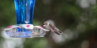Hummingbird-feet on feeder Royalty Free Stock Images