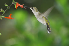 Hummingbird. Female ruby-throated hummingbird in flight with red salvia royalty free stock photo