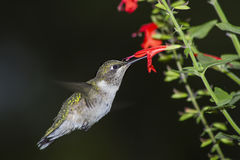 Hummingbird 3. Female ruby-throated hummingbird with red salvie stock photography