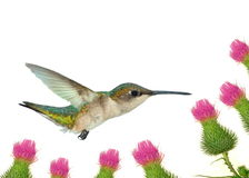 Hummingbird At Field Thistles Stock Photography
