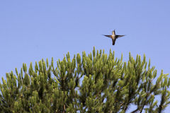 Hummingbird fir tree Royalty Free Stock Photo