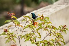 Hummingbird on Firebush royalty free stock images