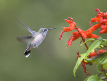 Hummingbird flaps its wings. A hummingbird is captured flapping its wings Stock Photo