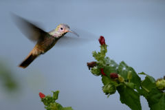 Hummingbird in flight. Hummingbird flying towards Turks Cap Royalty Free Stock Photos