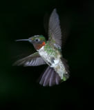 Hummingbird in Flight. A photo of a Ruby Throated male hummingbird isolated on a dark background Stock Photos