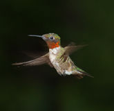 Hummingbird in Flight. A photo of a Ruby Throated male hummingbird isolated on a dark background Royalty Free Stock Images