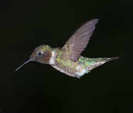 Hummingbird in Flight. A photo of a Ruby Throated male hummingbird isolated on a dark background Royalty Free Stock Photography
