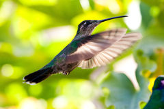 Hummingbird in flight Royalty Free Stock Photo