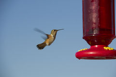 Hummingbird in Flight. A hummingbird in flight near a feeder Royalty Free Stock Photos