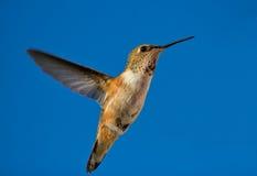 Hummingbird in flight Stock Images