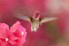 Hummingbird in Flight Royalty Free Stock Images