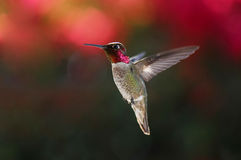 Hummingbird in flight Royalty Free Stock Images