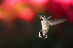 Hummingbird in flight Stock Images