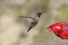 Hummingbird in Flight. A colorful hummingbird flying in to a backyard feeder Stock Image