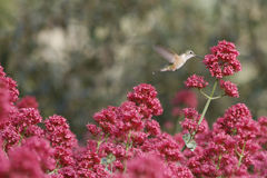 Hummingbird in flight Stock Photo