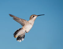 Hummingbird in flight against blue sky Stock Image