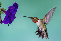 Hummingbird in Flight. A hummingbird aligning himself to the flower Stock Photography