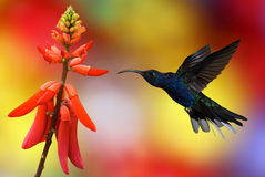 Hummingbird in flight. Hummingbird (archilochus colubris) in flight with tropical flowers on colourful background