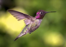 Hummingbird in Flight, Color Image, Day Royalty Free Stock Images