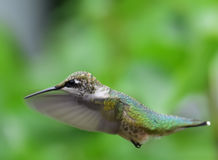 Hummingbird in flight Stock Photography