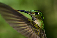 Hummingbird in flight. Long billed hummingbird feeding in the cloud forest Royalty Free Stock Photography