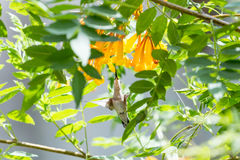 Hummingbird in Flight. This hummingbird is looking for a good drink from these beautiful orange flowers Royalty Free Stock Photography