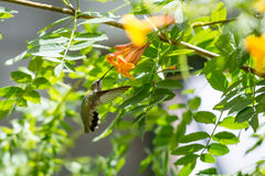 Hummingbird in Flight. This hummingbird is looking for a good drink from these beautiful orange flowers Stock Photo