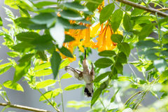 Hummingbird in Flight. This hummingbird is looking for a good drink from these beautiful orange flowers Stock Image