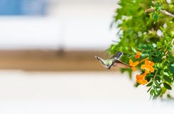 Hummingbird in flight near the flowers, Las Vegas, Nevada, USA. With selective focus.  stock images